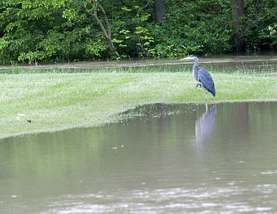 Flood image 5-25-17-Blue heron fishing